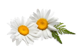 chamomile for skin